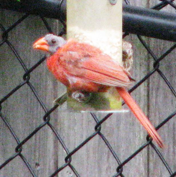 Bald cardinal tp 1