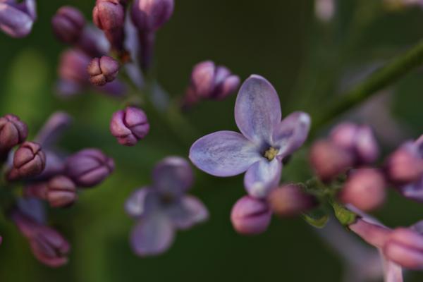 Lilacs tp 6