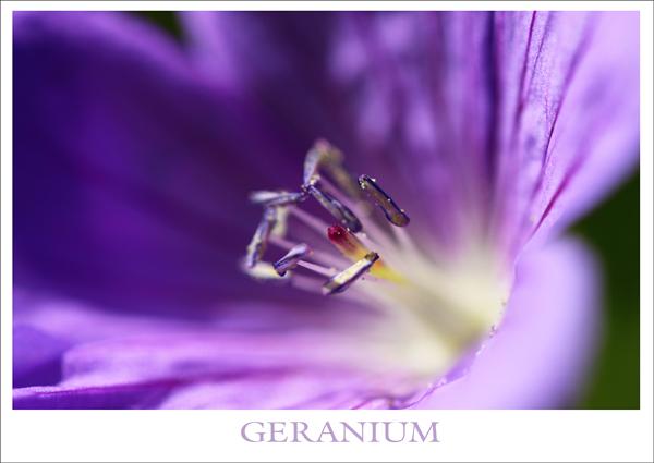 Geranium tp
