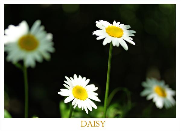 Daisy tp 1