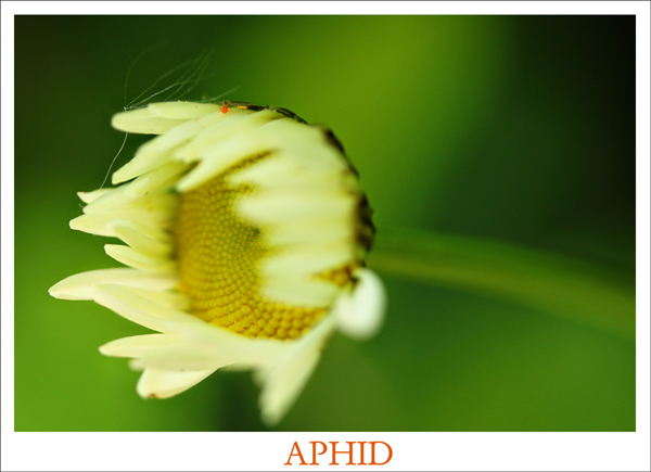 Aphid tp 1