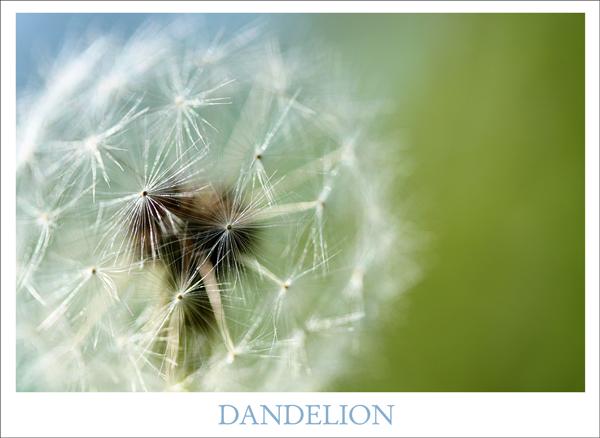 Dandelion tp 1