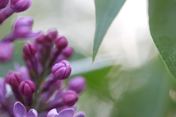 Lilacs tp 5