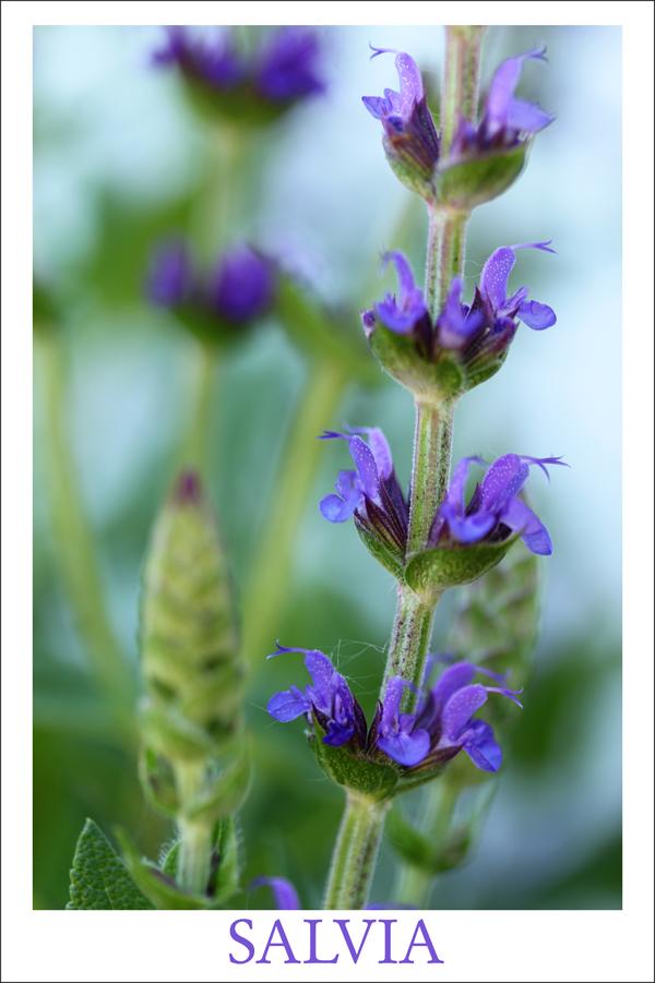 Salvia tp 1