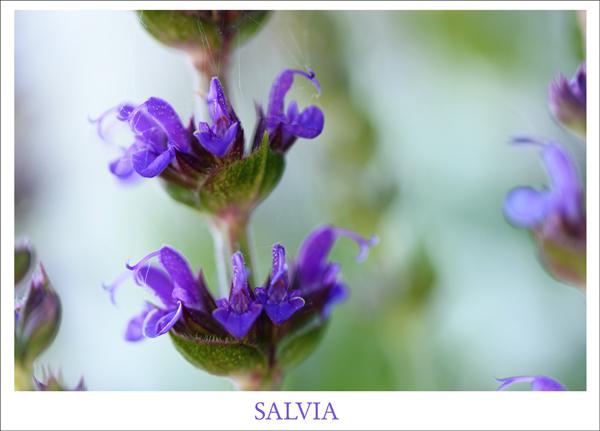 Salvia tp 2