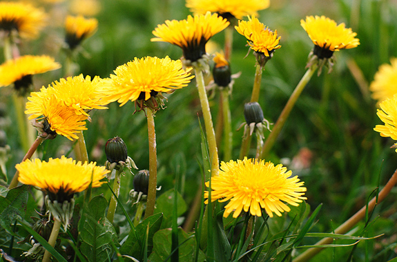 DANDELIONS-IN-FIELD